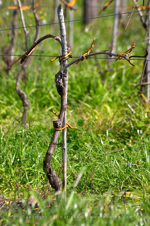 A young Tannat vine trained in what looks like either cordon Royat or Guyot double Bodega Pisano Winery, Progreso, Uruguay, South America