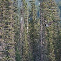 An osprey (Pandion haliaetus) flies in Banff National Park, Alberta, Canada.