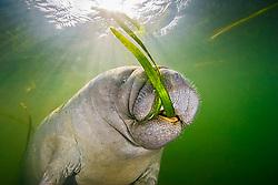 Florida manatee, Trichechus manatus latirostris, calf, feeding on seagrass, a subspecies of the West Indian manatee, Trichechus manatus, Crystal River, Florida, USA, Kings Bay, Gulf of Mexico, Atlantic Ocean