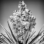 Full bloom of a Southern California desert Yucca plant processed in black and white.