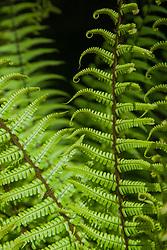 North America, United States, Washington, Bellevue, Bellevue Botanical Garden, fern fronds