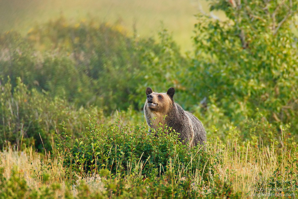 A grizzly bear (Ursus arctos) hunts for food in a meadow located in the Many Glacier section of Glazier National Park, Montana. Grizzly bears will eat both vegetation and animals. This one was feasting on blueberries growing in the meadow.