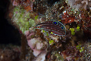 Halichoeres biocellatus (Two Spotted Wrasse)