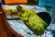 A Green Moray Eel (Gymnothorax funebris) emerges from a pipe at the Oregon Coast Aquarium, in Newport, Oregon, USA. While it may look neon green, the skin of the otherwise brown eel actually secretes a yellow-tinted layer of protective, toxic mucus. Moray eels are the only fish (and the only vertebrates) with mobile pharyngeal jaws, an extraordinary hunting innovation where outer jaws firmly grasp the prey, then separate inner jaws within the throat shoot forward to bite the target and pull it in!