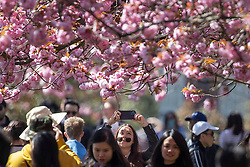© Licensed to London News Pictures. 24/04/2021. London, UK. A woman takes a picture in an avenue of cherry blossom trees during sunny weather in Greenwich Park in south east London. Temperatures are expected to rise with highs of 16 degrees forecasted for parts of London and South East England today . Photo credit: George Cracknell Wright/LNP