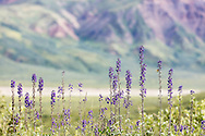 Larkspur (Delphinium glaucum) line the Denali Park Road overlooking the Toklat River Valley in Denali National Park in Southcentral Alaska. Summer. Afternoon.