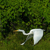 A Great Egret (Ardea alba) flys through the Amazon Jungle above the Yanayacu River.