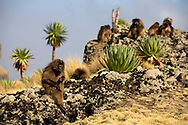 Gelada Baboons<br /> Simien Mountains, Ethiopia