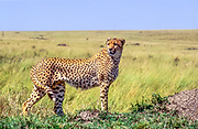 lone cheetah (Acinonyx jubatus). Photographed in Tanzania