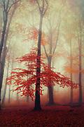 beech tree with fall foliage