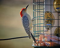 Red-bellied Woodpecker a bird feeder with suet. Image taken with a Fuji X-T3 camera and 200 mm f/2 lens and 1.4x teleconverter (ISO 320, 280 mm, f/5, 1/500 sec).