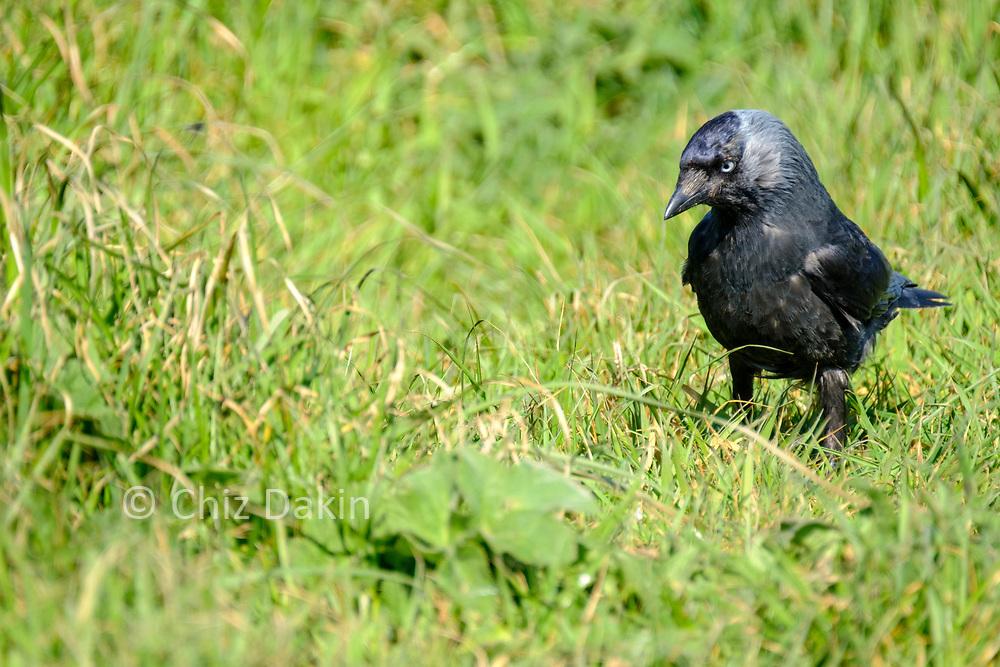 Hooded crow on the Flamborough coast-top