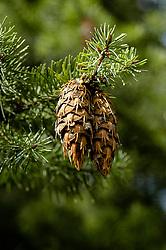 Douglasspar, Pseudotsuga menziesii