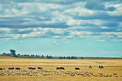 Rebanho de velhas nos campos de Santana do Livramento, no sul do Brasil. Santana do Livramento é um município brasileiro do estado do Rio Grande do Sul. Localiza-se a uma distância de 488 km da capital Porto Alegre, a 483 km de Montevidéu (capital do Uruguai), 634 km de Buenos Aires (capital da Argentina). Possui uma área de 6.950,37 km². FOTO: Jefferson Bernardes/Preview.com