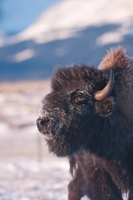 Bison bison, winter buffalo on the prairie rocky mountains montana