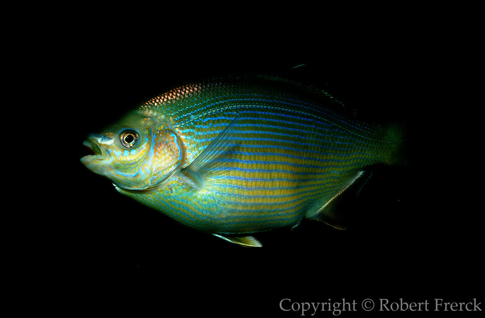 UNDERWATER MARINE LIFE EAST PACIFIC: Northeast FISH: Lined perch, pregnant female Embiotoca lateralis