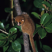 Brown Mouse Lemur (Microcelous rufus) in Madagascar.  Endangered Species.