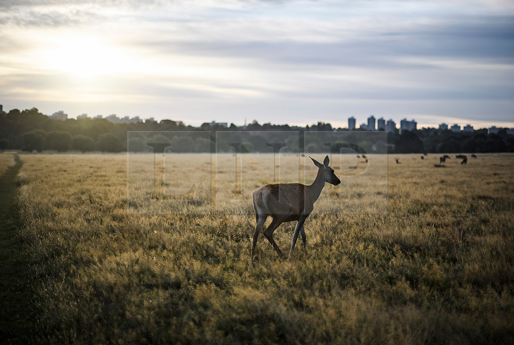 © Licensed to London News Pictures. 01/09/2019. London, UK. Deer grazing at first light in Richmond Park on the first day of meteorological autumn. Photo credit: Ben Cawthra/LNP