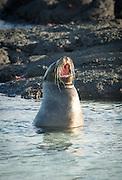 Galapagos Sea Lion (Zalophus wollebaeki), Punta Espinosa, Fernandina Island, Galapagos Islands