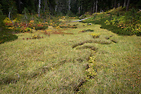 Autumn colors the meadow grasses along a dried streambed in the Indian Heaven Wilderness -Gifford Pinchot National Forest, Cascade Mountain Range, Washington state, USA