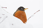 A perched American robin (Turdus migratorius) is partially obscured by several inches of snow on its branch. The American robin is a songbird and is found year-round in nearly all of the contiguous United States.