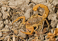 The Mediterranean Scorpion - Mesobuthus gibbosus. Common under stones usually in drier habitats in the Eastern Mediterranean. Like all buthid scorpions they should be treated with caution as they have a potent sting.