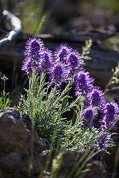 Silky Phacelia, wildflowers of Yellowstone National Park