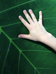 Six-Year-Old's Hand on Big Leaf, Lahaina, Maui, Hawaii, US