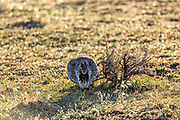 Sage Grouse in Sagebrush Habitat