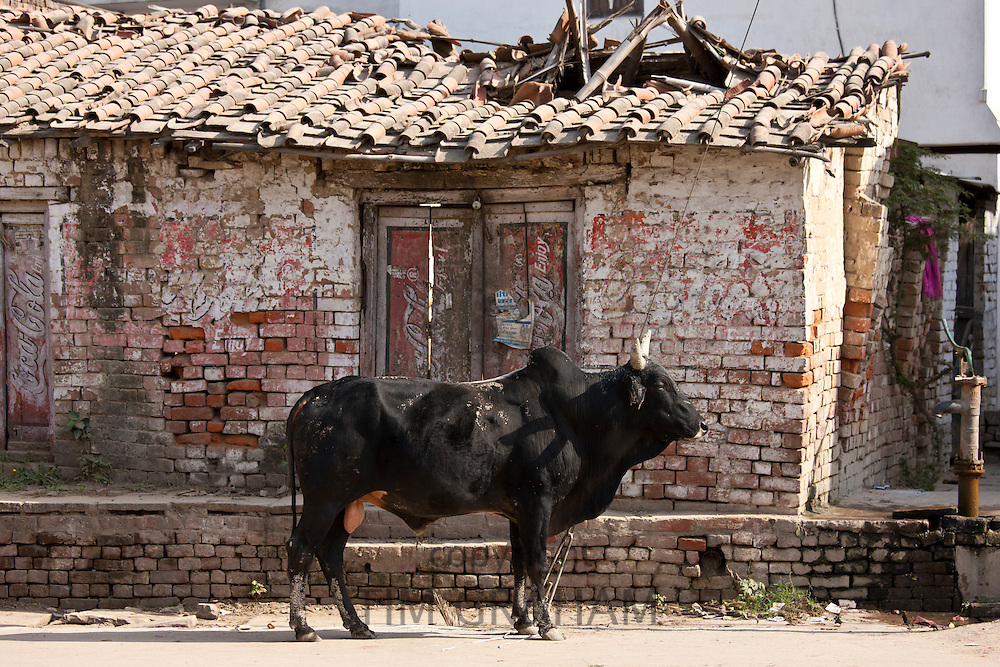 Bull in street scene in Nandi near Varanasi, Benares, Northern India