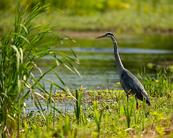 A Great Blue Heron looking out over the canal, Lake Apopka Wildlife Drive, Florida. Image taken by Ed Aldridge with a NIKON Z 6_2 and 500mm f/4D at 500mm, ISO 1000, f4, 1/1600.