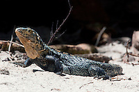 A spiny-tailed iguana(Ctenosaura similis)  in Belize.