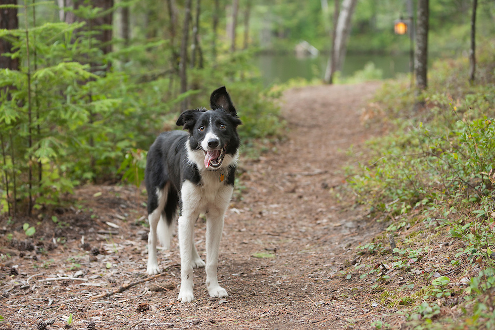 Young Border Collie Dog stanging on a trail looking at the camera