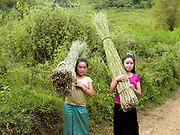 Two Hmong girls carrying bundles of hemp (cannabis sativa) plant back from the field, Ban Long Kuang, Houaphan province, Lao PDR. Making hemp fabric is a long and laborious process; the end result is a strong durable cloth with qualities similar to linen which the Hmong women make into skirts, for their traditional clothing. In Lao PDR, hemp is now only cultivated in remote mountainous areas of the north.
