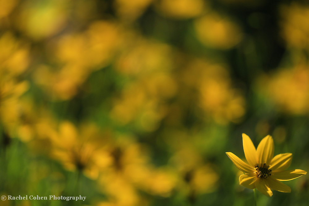 """""""Illumination in Yellow""""<br /> <br /> Cheerful yellow floral image!!<br /> <br /> Flowers and Wildflowers by Rachel Cohen"""