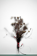 withered flower bouquet with red ribbon silhouette behind frosted glass