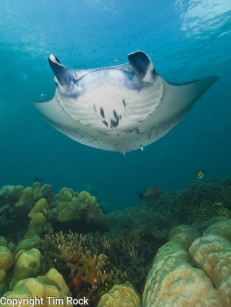 Yap, Micronesia, images from Manta Fest held at Manta Ray Bay Hotel. Manta Rays, reef fish, grey reef sharks, blacktip sharks, marine invertebrates, corals, Pacific marine life in the western Pacific Ocean