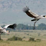 Gray Crowned Crane (Balearica regulorum) flying. Masai Mara National Reserve, Kenya, Africa