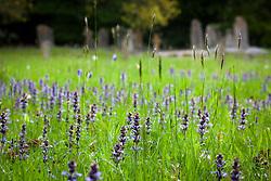 Bugle growing in Exbury churchyard. Ajuga reptans syn. Ajuga repens