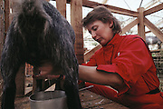 Biosphere 2 Project undertaken by Space Biosphere Ventures, a private ecological research firm funded by Edward P. Bass of Texas.  Biosphere candidate milking a goat in the animal farm of Biosphere 2, Oracle, Arizona.  Biosphere 2 was a privately funded experiment, designed to investigate the way in which humans interact with a small self-sufficient ecological environment, and to look at possibilities for future planetary colonization. 1990
