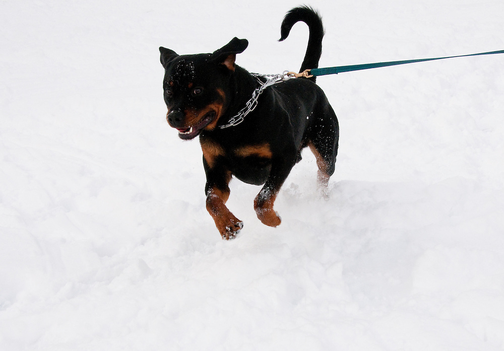 California, Lake Tahoe: Young Rottweiler dog 15 month old in the snow at  North Lake Tahoe Regional Park.  Photo copyright Lee Foster.  Photo # cataho107540