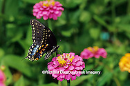 03009-00710 Black Swallowtail (Papilio polyxenes) female on Zinnia sp. Marion Co.  IL