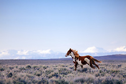 Paint mustang running free in the Wyoming Desert of Farson Wyoming.   The Wind River Mountain to the north.