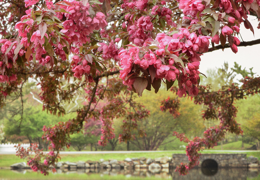 This is Bruce Park in Greenwich, Connecticut last spring.  Various flowers and nature scenes photographed at different times of the year.  All of flowers were photographed in New York, Connecticut, Massachusetts, Maine and Rhode Island.  Many, ones with the ducklings were photographed at the Botanical Gardens in the Bronx, New York and some at Mount Holyoke College Greenhouse in Massachusetts.