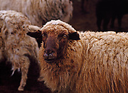 Navajo-Churro Sheep ewe, domestic breed of sheep brought to North America in the 1500s during the Spanish Conquest, Clara Sherman's sheep pen near Two Grey Hills, Navajo Reservation, New Mexico.