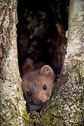 [captive] Beech marten (Martes foina) | Steinmarder, Stein-Marder, Marder, Jungtier, in einer natürlichen Baumhöhle