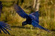 Aquidauana_MS, Brasil...Detalhe de uma Arara-azul (Anodorhynchus hyacinthinus) na fazenda Rio Negro no Pantanal...A blue macaw (Anodorhynchus hyacinthinus) in Rio Negro farm in Pantanal...Foto: JOAO MARCOS ROSA / NITRO