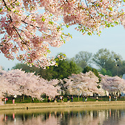 The cherry blossoms in bloom along the waterfront of the Tidal Basin. The Yoshino Cherry Blossom trees lining the Tidal Basin in Washington DC bloom each early spring. Some of the original trees from the original planting 100 years ago (in 2012) are still alive and flowering. Because of heatwave conditions extending across much of the North American continent and an unusually warm winter in the Washington DC region, the 2012 peak bloom came earlier than usual.