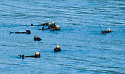 A raft of sea otters (Enhydra lutris) floats in Prince William Sound, Alaska, USA. Prince William Sound is surrounded by Chugach National Forest (the second largest national forest in the USA). Tour spectacular Prince William Sound by commercial boat from Whittier, which sits strategically on Kenai Peninsula at the head of Passage Canal. Whittier is a port for the Alaska Marine Highway System, a ferry service which operates along the south-central coast, eastern Aleutian Islands, and the Inside Passage of Alaska and British Columbia, Canada. Cruise ships stop at the port of Whittier for passenger connections to Anchorage (by road 60 miles) and to the interior of Alaska via highway and rail (the Denali Express). Known by locals as the Whittier tunnel or the Portage tunnel, the Anton Anderson Memorial Tunnel links Whittier via Portage Glacier Highway to the Seward Highway and Anchorage. At 13,300 feet long (4050 m), it is the longest combined rail and highway tunnel in North America. Whittier was severely damaged by tsunamis triggered by the 1964 Good Friday Earthquake, when thirteen people died from waves reaching 43 feet high (13 meters).