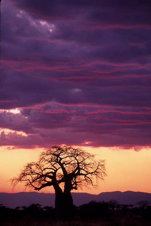 Baobob trees (Adansonia digitata) at sunset, Tarangire National Park, Tanzania